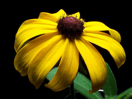 Color photo of a single Black Eyed Susan flower. Stock Photo - 1481428