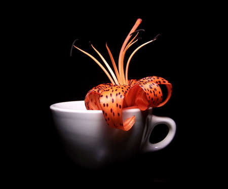 tiger lily: Color photograph of a single tiger lily sitting in a white porcelain cup with a black background.