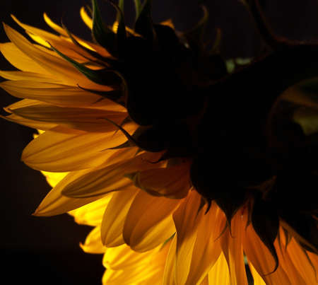 viewed from behind: Color photo of a large sunflower viewed from behind.