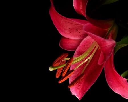 stargazer lily: Color photo of a Stargazer Lily on a black background.
