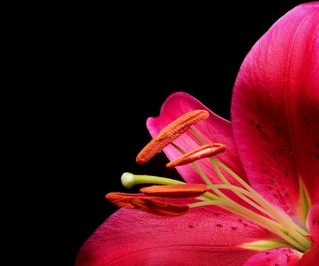 Color photo of a Stargazer Lily on a black background.