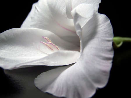 A close up of a gorgeous white gladiola blossom with a black background.