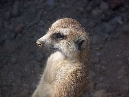 glass partition: A captive meerkat sits looking out the dirty glass partition in a zoo. Stock Photo