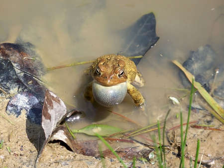 croaking: American toad croaking in the shallow part of a small muddy pond on a sunny spring day. Stock Photo