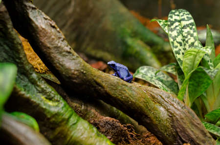 dendrobates: A blue poison dart frog (Dendrobates azureus) sitting on a tree surrounded by moss and plants. Stock Photo