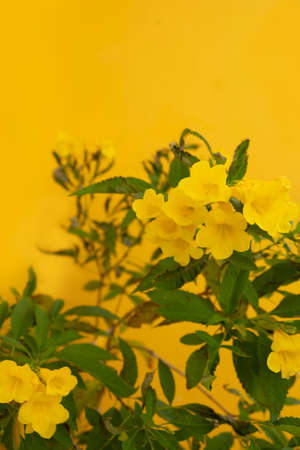 Yellow flower on yellow background with copy space.
