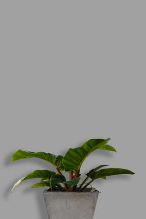 The green tree isolated on grey background, Minimal summer exotic concept with copy space.