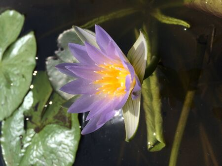 blue: Blue water lily Stock Photo
