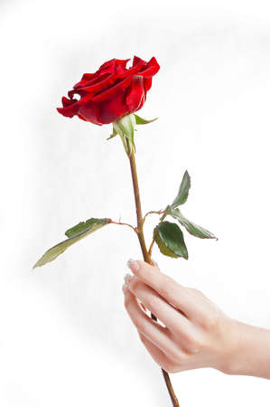 Close-up hands holding a red rose