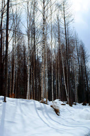 ideally: Winter birch forest - winter serenity  Ideally suits for calendars