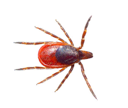 underbrush: The tick is isolated on a white background.