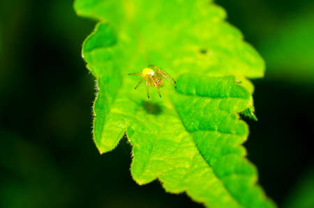 Crab spider and spider web on a leaf. photo