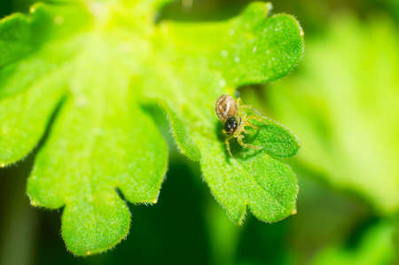 goldenrod spider: The Thomisidae stay in the green leaves. Stock Photo