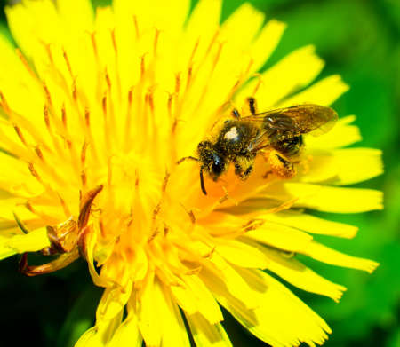 Bees collecting nectar and top of the dandelion flowers. photo