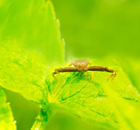 goldenrod crab spider: The Thomisidae rest on a green leaf. Stock Photo