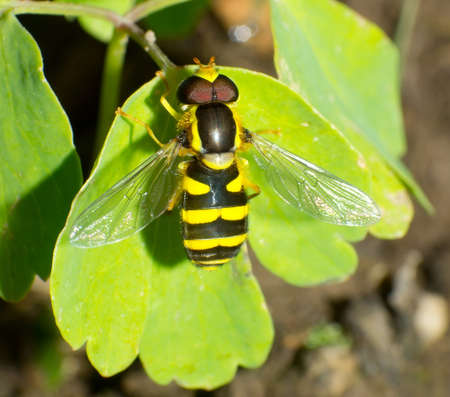 Chrysotoxum verralli  hoverfly on a green leaf close-up Stock Photo