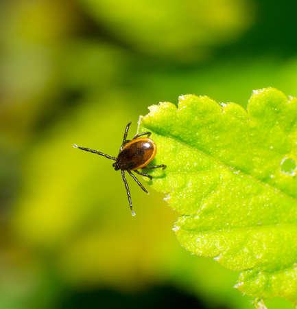 tick: garrapata, follaje fresco de la primavera