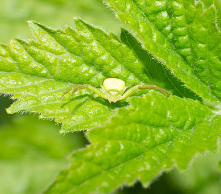 goldenrod crab spider: The crab spider on the green leaves.