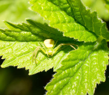 The crab spider on the green leaves.