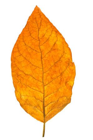 dry leaf tobacco closeup on the white background  Imagens