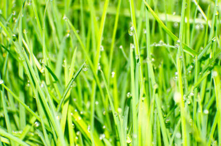 Background with grass and dew photo