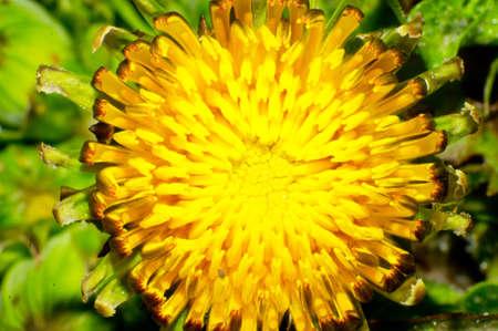 Dandelion flowers in green grass Stock Photo - 14020937