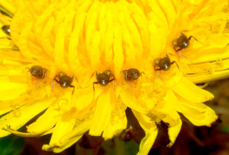Ants on top of a dandelion flower  Eat nectar  photo