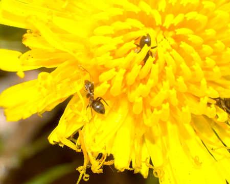 pismire: Macro brown ant on flower