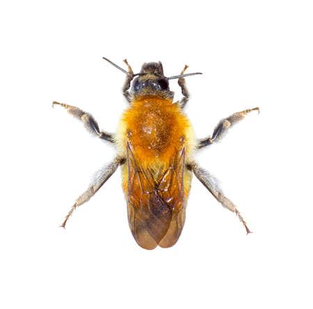 bombus: Bumblebee Bombus soroeensis on the white background Stock Photo
