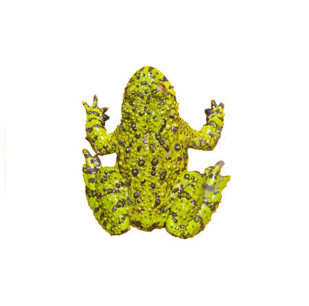 Green Frog isolated on white photo