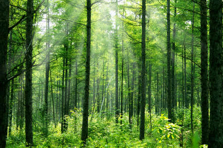 irradiation: Sunlight in young the Korean pine woods. Stock Photo