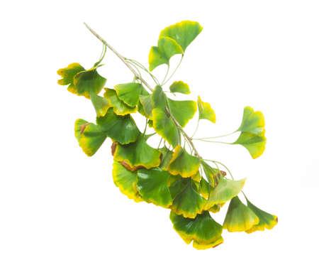 gradually: Gradually turn yellow ginkgo leaves Stock Photo