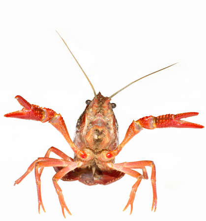 crawfish is isolated on a white background