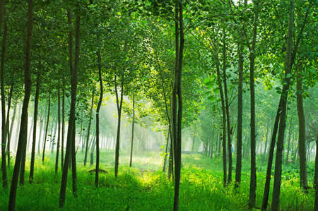 misty grove and bright sun beams through trees