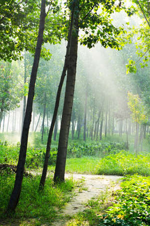 fog forest: misty grove and bright sun beams through trees