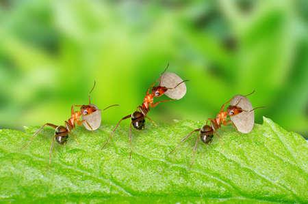 Trois fourmis transportant de la nourriture sont