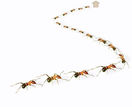 Eine Gruppe von Ameisen in s Form angeordnet