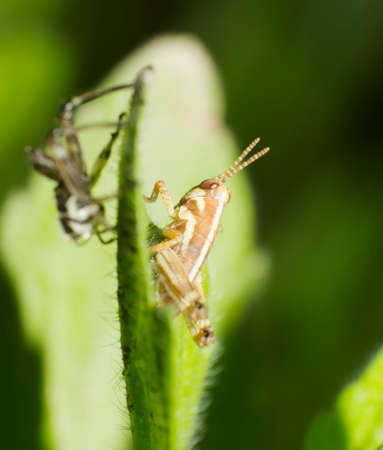molting: A newly moulted young locusts