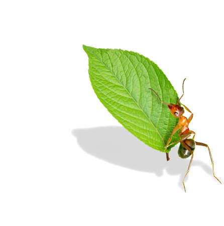 Ant move a piece of leaf Stock Photo - 16731971