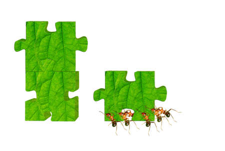 joining forces: The ants who play jigsaw puzzle
