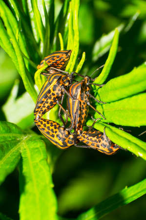 orange stink bugs in the grass Stock Photo - 17260120