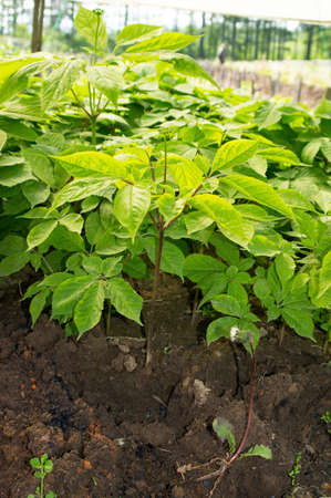 Planted ginseng in Northeast China