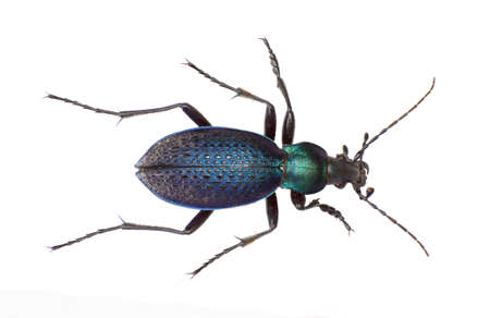 carabid: The Carabidae isolated white background