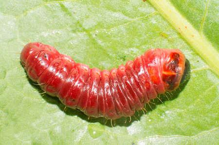 spotty: The big red catterpillar of Goat Moth  Cossus cossus