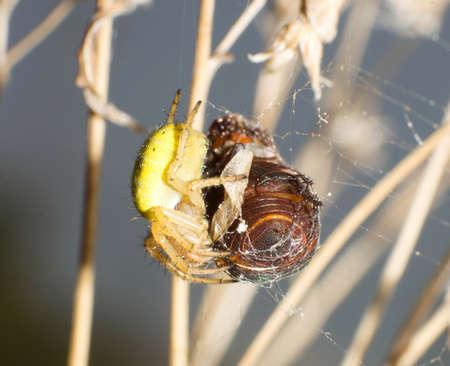 thomisidae: Beetles are cobwebs stuck As Thomisidae meal
