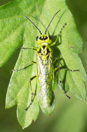gadfly: Green gadfly lying on leaves.
