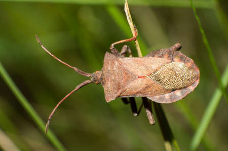 The brown stinkbug close-up in outdoor Stock Photo - 17302553