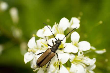carabidae: Close-up brown Carabidae eat nectar