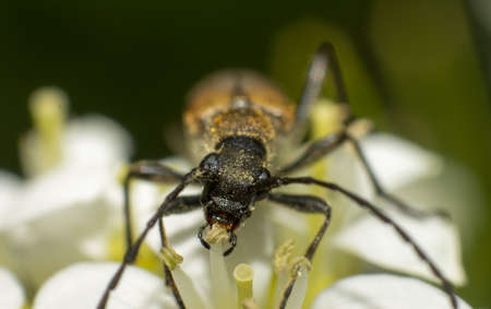 Close-up brown Carabidae eat nectar