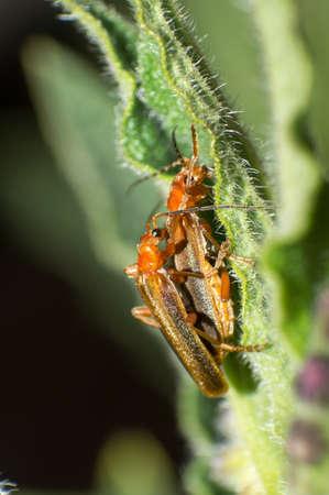 The two breeding seasons beetle. photo